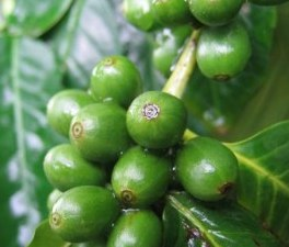 Green Coffee bean extract natural colour
