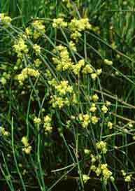 ephedra-plant